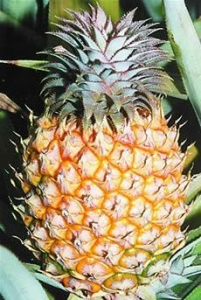 China Fresh Pineapple on sale