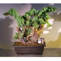 China Juniper Bonsai Tree - Phoenix Graft(juniper procumbens nana) on sale