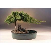 China Juniper in a Water Bonsai Pot - Large(juniper procumbens nana) on sale