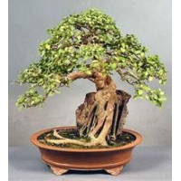 China Bonsai Tree Repotting on sale