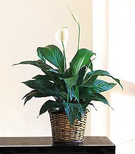 China Small Spathiphyllum Plant on sale