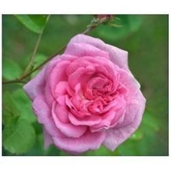 China Tea Rose Absolute on sale
