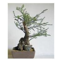 China BONSAI TREES on sale