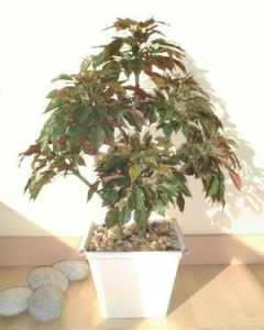 China Small Trees 2ft Ficus Tree on sale