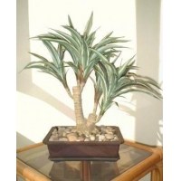 China Bonsai 19 Dracaena Bonsai on sale