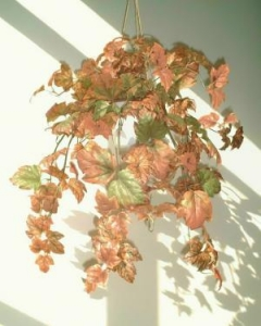 China Ivies & Garlands Canadian Maple on sale