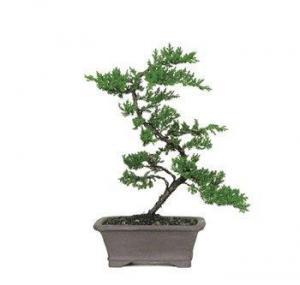China GREEN MOUND JUNIPER BONSAI TREE on sale