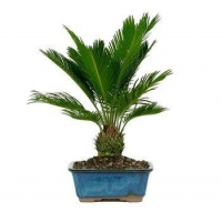 China SAGO PALM BONSAI TREE on sale