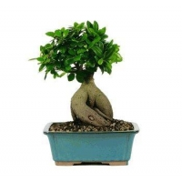 China GENSING GRAFTED FICUS BONSAI TREE - LARGE on sale