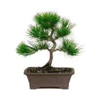 China JAPANESE BLACK PINE BONSAI TREE on sale