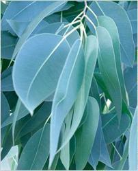 China Eucalyptus Leaves on sale