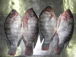 China Farm-Raised Whole Fish Gutted & Scaled Tilapia on sale