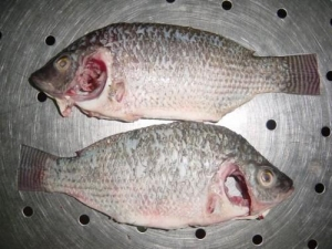 China Farm-Raised Whole Fish Cleaned Tilapia Type Two on sale