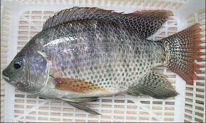 China Tilapia Black Farm Raised Frozen Tilapia Gutted and Scaled on sale