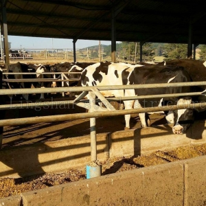 China Beef Cattle Show Barn Building Designsplans on sale