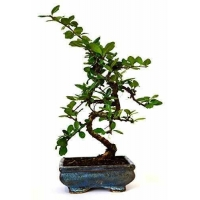 China 9GreenBox - Fukien Tea Bonsai with 6 Ceramic Pot on sale