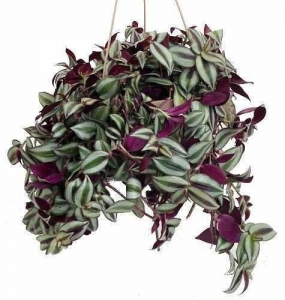 China Purple Wandering Jew - Easy to Grow House Plant - Inch Plant - 6 Hanging Pot on sale
