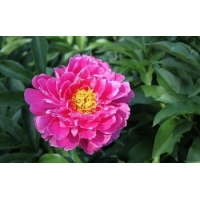 China Peony on sale