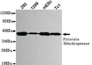 China Primary Antibodies pyruvate dehydrogenase (lipoamide)  1 Mouse mAb on sale