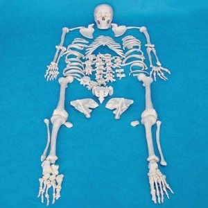 China Disarticulated Human Skeletons on sale