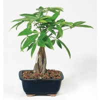 China 9GreenBox  Live 10-12 Money Tree Bonsai on sale