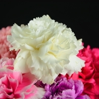 Carnation Flower Snow White Carnation