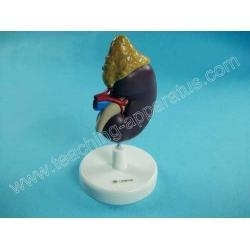 China Human Kidney Model on sale