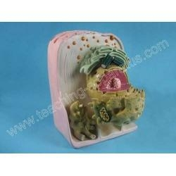 China Minute Animal Cell Structure Model on sale