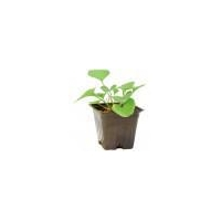 China Indoor Bonsai Trees Native Wood Violet (GC20) on sale