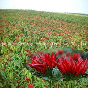 China Paprika Chinese Red Paprika Powder Asta 100 on sale