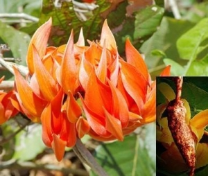 China Butea Superba Extract, Red Kwao Krua Extract on sale