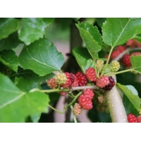 China White Mulberry Root-Bark Extract on sale