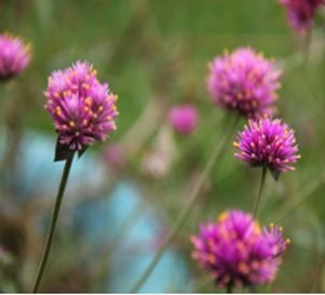 China Herbal Extract Red Clover Extract on sale