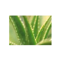China Herbal Extract Aloe Vera extract on sale