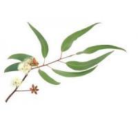 China Eucalyptus Radiata Essential Oil on sale