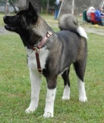 China Akita Inu Multifunctional Leather Dog Harness on sale