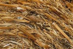 China Yellow Corn Hay on sale