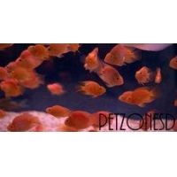 China Flowerhorns Blood Parrot (Red Parrot) Cichlid on sale