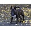 China The miniature bull Terrier. Puppy mini bull elite pedigree for sale