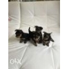 China Puppies for sale Yorkshire Terrier for sale