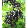 China Urgent selling currant seedlings grade Titania for sale