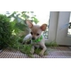 China Charming and attractive boy toy Terrier. for sale