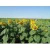 China Sunflower Seeds Blazer