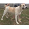 China For sale young purebred female Alabai excellent working origin for sale