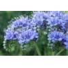 China Sell seeds of phacelia harvest 2016 for sale