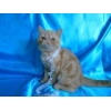 China Gorgeous kittens exotics for every taste! for sale