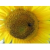 China Sunflower seeds Limit. from the manufacturer for sale