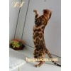 China Bengal kittens.Nursery for sale