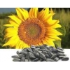 China Sunflower hybrids seeds of Novi Sad, Serbia, HC Fantasy HC Romeo, NS and Take other for sale