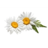 China Chamomile extract for sale